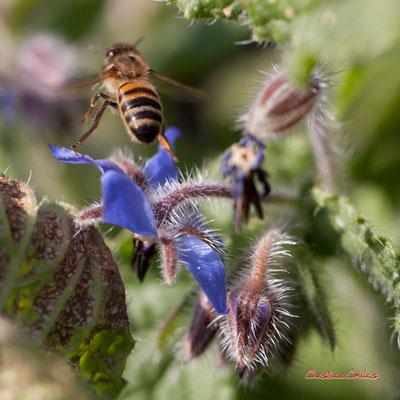 Bourrache et abeille. Vendredi 27 mars 2020