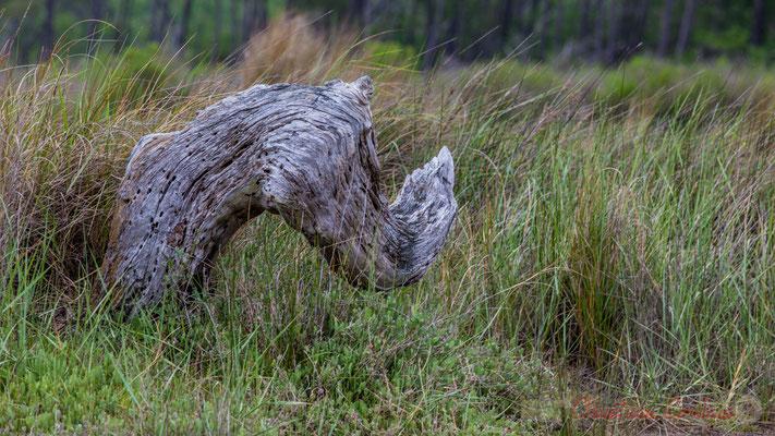 Nature morte I. De Lège-Cap Ferret à Arès, par le sentier de la Réserve naturelle des Prés salés.