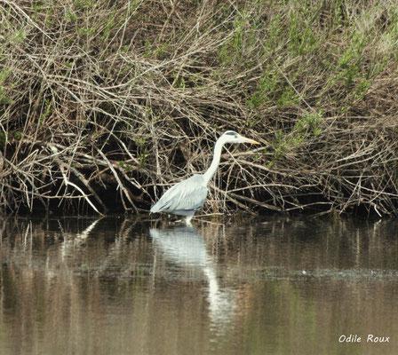 Héron cendré. Réserve ornithologique du Teich. Photographie Odile Roux. Samedi 16 mars 2019
