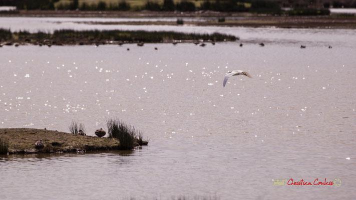 Vol d'aigrette V. Réserve ornithologique du Teich. Samedi 16 mars 2019. Photographie © Christian Coulais