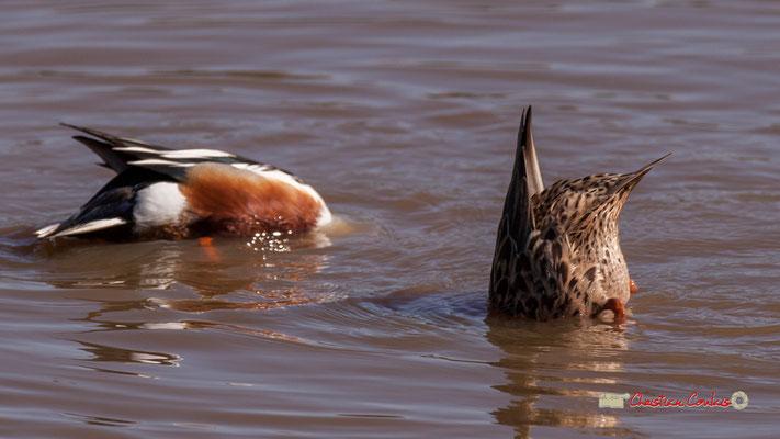 Couple de canards souchets. Réserve ornithologique du Teich. Samedi 16 mars 2019