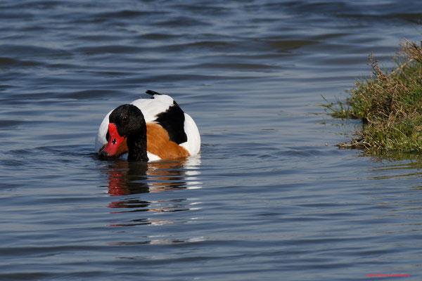 Tadorne de Belon. Réserve ornithologique du Teich. Photographie Jean-Pierre Couthouis. Samedi 3 avril 2021