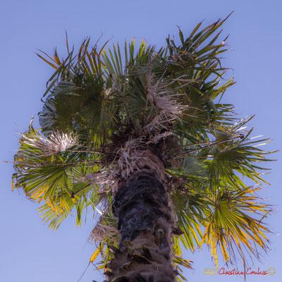 1 Palmier de la Villa Argentina, avenue de la République, Cénac, Gironde. 16/10/2017
