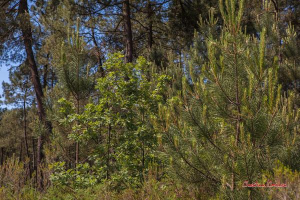 Jeune chêne pédonculé entre de jeunes pins. Forêt de Migelan, espace naturel sensible, Martillac / Saucats / la Brède. Vendredi 22 mai 2020. Photographie : Christian Coulais