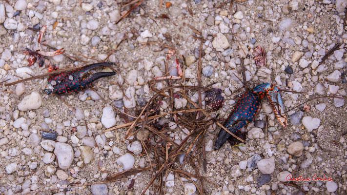 3/3 Pinces d'écrevisse de Louisiane (Procambarus clarkii). Forêt de Migelan, espace naturel sensible, Martillac / Saucats / la Brède. Samedi 23 mai 2020. Photographie : Christian Coulais