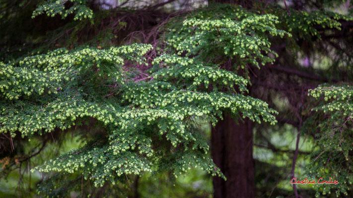 """1/2 """"Vertes pousses"""" Forêt de Migelan, espace naturel sensible, Martillac / Saucats / la Brède. Samedi 23 mai 2020. Photographie : Christian Coulais"""