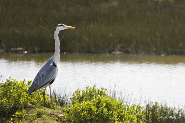 Héron cendré. Réserve ornithologique du Teich. Photographie Gaël Moignot. Samedi 16 mars 2019