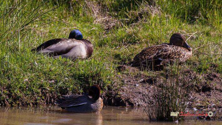 Sarcelle de la Caroline dans l'eau, couple de canards colverts en fond. Réserve ornithologique du Teich. Samedi 16 mars 2019