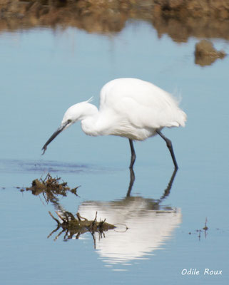 Aigrette garzette. Réserve ornithologique du Teich. Photographie Odile Roux. Samedi 16 mars 2019