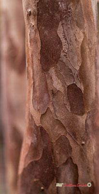 Goyavier. Amérique du Sud. Genre : Psidium; Espèces : Guajava; Famille : Myrtaceae; Ordre : Myrtales. Serre tropicale du Bourgailh, Pessac. 27 mai 2019