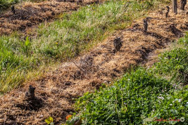 """""""Raz motte"""". Vitis vinifera Land Art"""