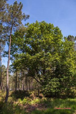 Chêne rouge d'Amérique (Quercus rubra). Forêt de Migelan, espace naturel sensible, Martillac / Saucats / la Brède. Vendredi 22 mai 2020. Photographie : Christian Coulais