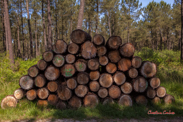 Grumes de pin maritime de diamètre moyen. Forêt de Migelan, espace naturel sensible, Martillac / Saucats / la Brède. Vendredi 22 mai 2020. Photographie : Christian Coulais