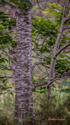 """1/2 """"Morse"""" Forêt de Migelan, espace naturel sensible, Martillac / Saucats / la Brède. Samedi 23 mai 2020. Photographie : Christian Coulais"""