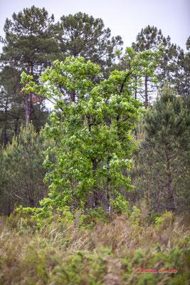 Jeune chêne. Forêt de Migelan, espace naturel sensible, Martillac / Saucats / la Brède. Samedi 23 mai 2020. Photographie : Christian Coulais