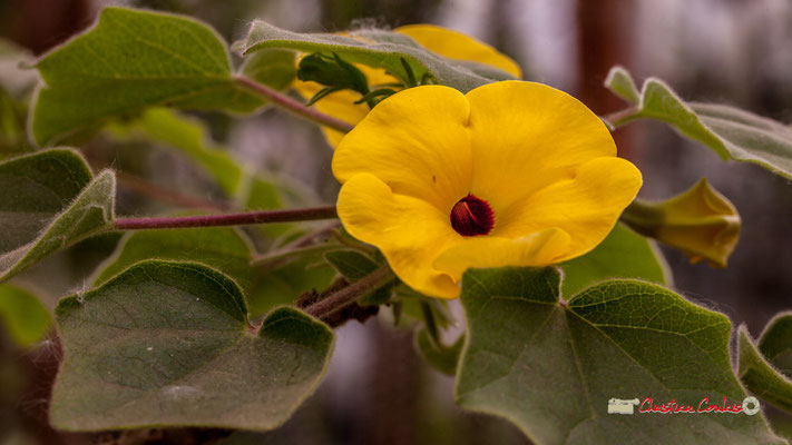 Madagascar. Genre : Uncarina; Espèce : Grandidieri; Famille : Pedaliaceae; Ordre : Scrophulariales. Serre tropicale du Bourgailh, Pessac. 27 mai 2019