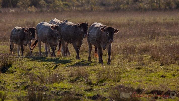 Fin de journée, le troupeau de vaches rentre à l'étable. Domaine de Graveyron, Audenge, espace naturel sensible de Gironde