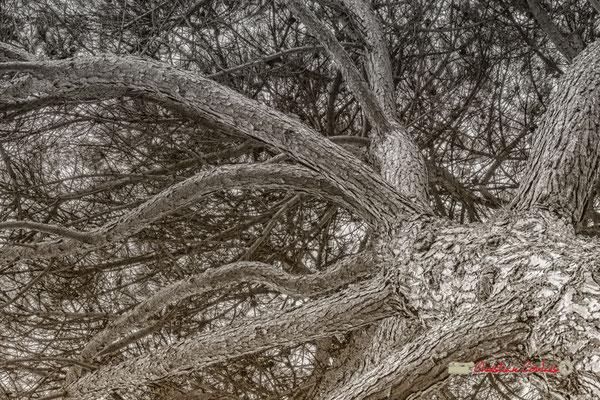 Un des nombreux Pin parasol, détail; Domaine de Malagar. Centre François Mauriac, Saint-Maixant. 28/09/2019 Reproduction interdite - Tous droits réservés © Christian Coulais