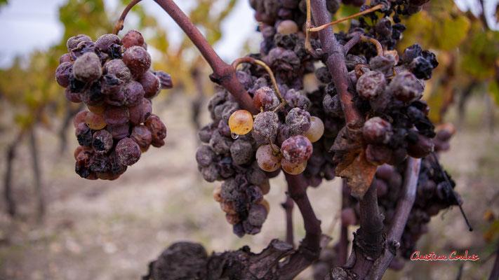 Pourriture noble, Botrytis cinerea; Vignoble du Sauternais, Château d'Yquem, Sauternes. Samedi 10 octobre 2020. Photographie © Christian Coulais