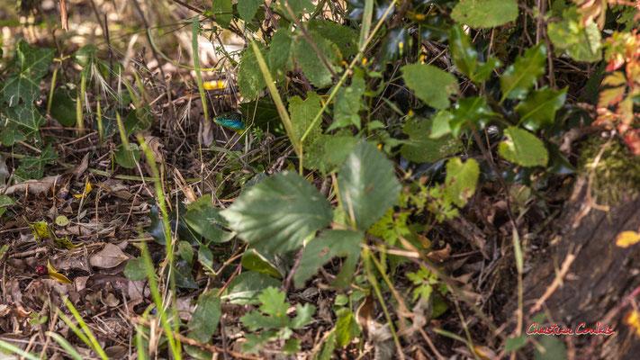 Lézard vert mâle (Lacerta bilineata). Forêt de Migelan, espace naturel sensible, Martillac / Saucats / la Brède. Vendredi 22 mai 2020. Photographie : Christian Coulais