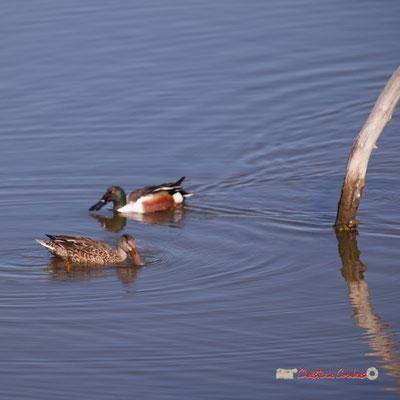 Canard souchet et sa femelle, réserve ornithologique du Teich. Samedi 16 mars 2019. Photographie © Christian Coulais
