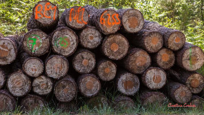 Grumes de pin maritime de fort diamètre. Forêt de Migelan, espace naturel sensible, Martillac / Saucats / la Brède. Vendredi 22 mai 2020. Photographie : Christian Coulais
