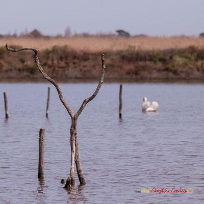 """""""cYgne"""". Réserve ornithologique du Teich. Samedi 16 mars 2019. Photographie © Christian Coulais"""