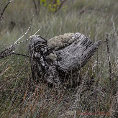 Nature morte II. De Lège-Cap Ferret à Arès, par le sentier de la Réserve naturelle des Prés salés