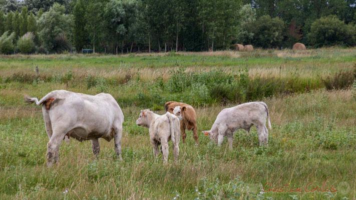 Vache et veaux, entre marais doux et marais salés, circuit N°27, Pays de Saint-Gilles-Croix-de-Vie, Vendée, Pays de la Loire