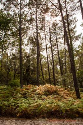Le chant des cigales résonne durant la traversée de la forêt de pins maritimes...Réserve naturelle de l'étang de Cousseau