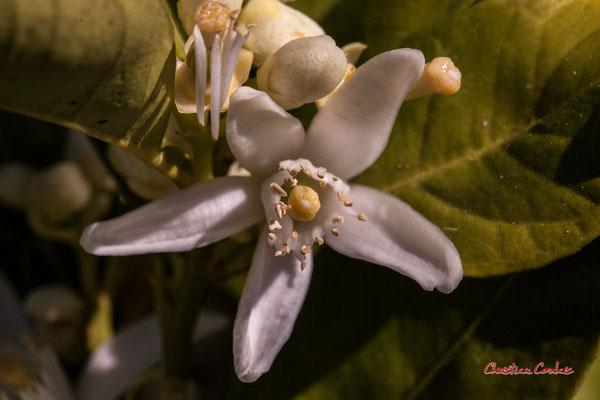 1/3 Fleur d'oranger. Vendredi 10 avril 2020, Cénac. Photographie : Christian Coulais