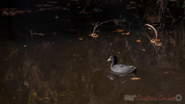 Gallinule poule-d'eau (Gallinula chloropus), Domaine de Graveyron, Audenge