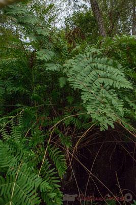 Osmonde royale, fougère du marais boisé, qui a peu évolué depuis près de 600 millions d'années. Lagune de Contaut, Hourtin