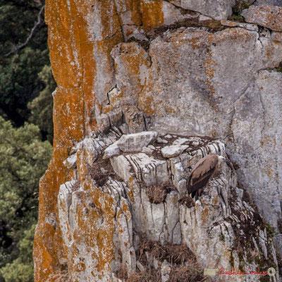 détail Vautour fauve posé sur le rocher / Buitre leonado en la roca, Foz de Arbaiun, Navarra