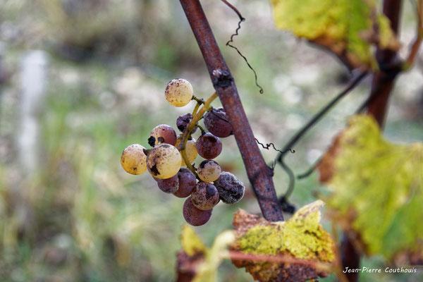 Grappe botrytisée. Vignoble du Sauternais, Château d'Yquem, Sauternes. Samedi 10 octobre 2020. Photographie © Jean-Pierre Couthouis