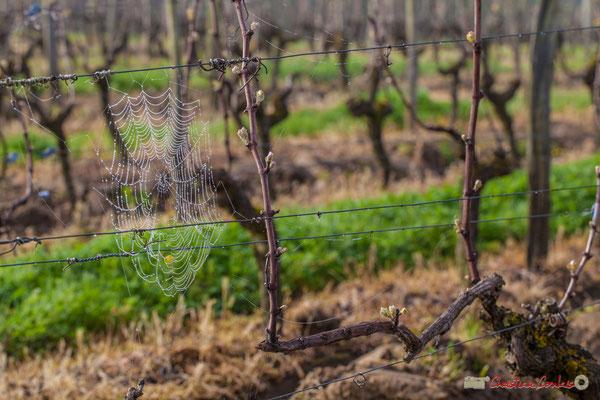 """Toile et ramure"". Vitis vinifera Land Art"