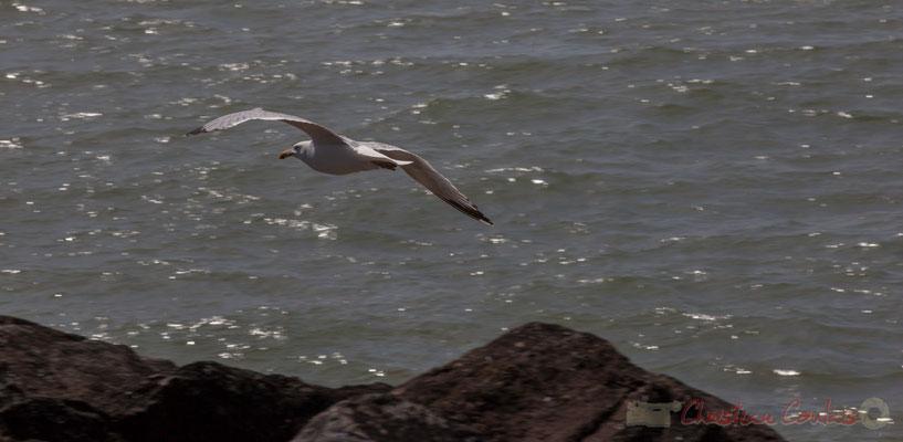 Vol de goéland argenté. Jetée de la Garenne. Saint-Gilles-Croix-de-Vie, Vendée, Pays de la Loire