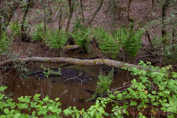Osmonde royale (Osmunda regalis). Forêt de Lège-Cap Ferret, Gironde, Aquitaine