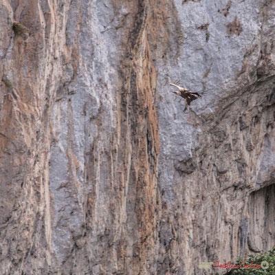 1/9 détail Vautour fauve en vol d'approche de son nid / Buitre beonado que se acerca al nido, Foz de Arbaiun, Navarra