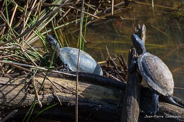Cistude, tortue d'Europe. Réserve ornithologique du Teich. Photographie Jean-Pierre Couthouis. Samedi 16 mars 2019