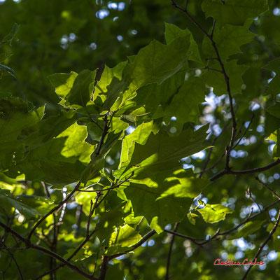 2/2 Feuilles de chêne rouge d'Amérique (Quercus rubra). Forêt de Migelan, espace naturel sensible, Martillac / Saucats / la Brède. Vendredi 22 mai 2020. Photographie : Christian Coulais