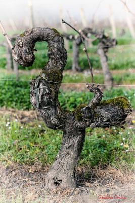 """Crosse du vigneron"". Vitis vinifera Land Art"