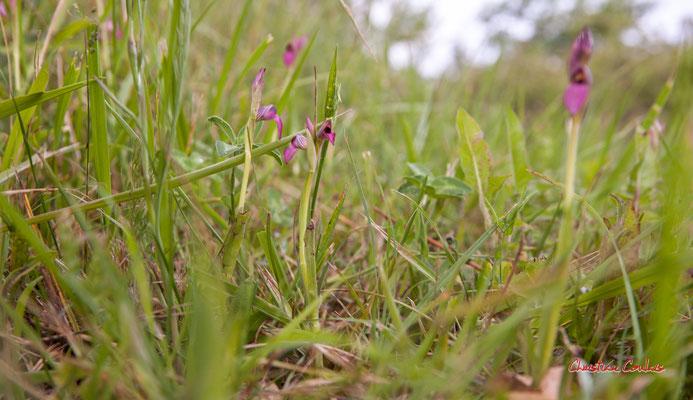Le Sérapias langue (Serapias lingua) dans les prairies humides, Haut-Brignon, Cénac. Samedi 19 avril 2020. Photographie : Christian Coulais