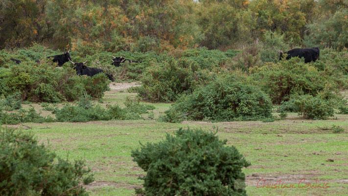 La présence de bovins en Camargue a été relevée depuis la plus haute antiquité. Poids compris entre 300 et 450 kg pour les mâles et 200 à 270 kg pour les femelles.