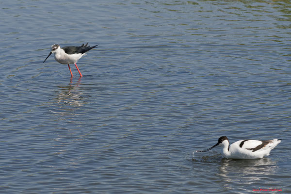 Echasse blanche, avocette élégante. Réserve ornithologique du Teich. Photographie Jean-Pierre Couthouis. Samedi 3 avril 2021