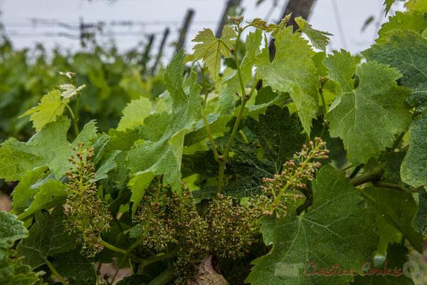 Floraison de la vigne, Château Brethous, Camblanes-et-Meynac. Randonnée pédestre Jazz360 2016, de Cénac à Quinsac, 12/06/2016