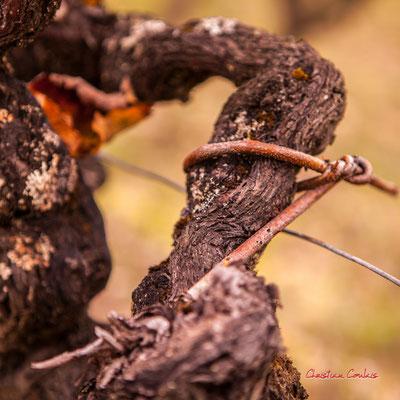 Attache traditionnelle en saule; Vignoble du Sauternais, Château d'Yquem, Sauternes. Samedi 10 octobre 2020. Photographie © Christian Coulais