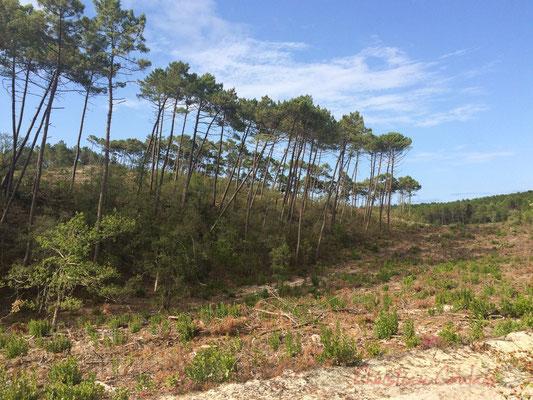 Ici les pins furent semés afin de fixer les envahissantes dunes modernes, les barkhanes...Réserve naturelle de l'étang de Cousseau