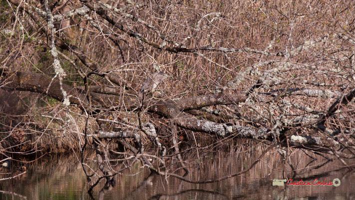 Bihoreau gris, réserve ornithologique du Teich. Samedi 16 mars 2019. Photographie © Christian Coulais