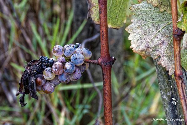 Grappe légèrement botrytisée. Vignoble du Sauternais, Château d'Yquem, Sauternes. Samedi 10 octobre 2020. Photographie © Jean-Pierre Couthouis